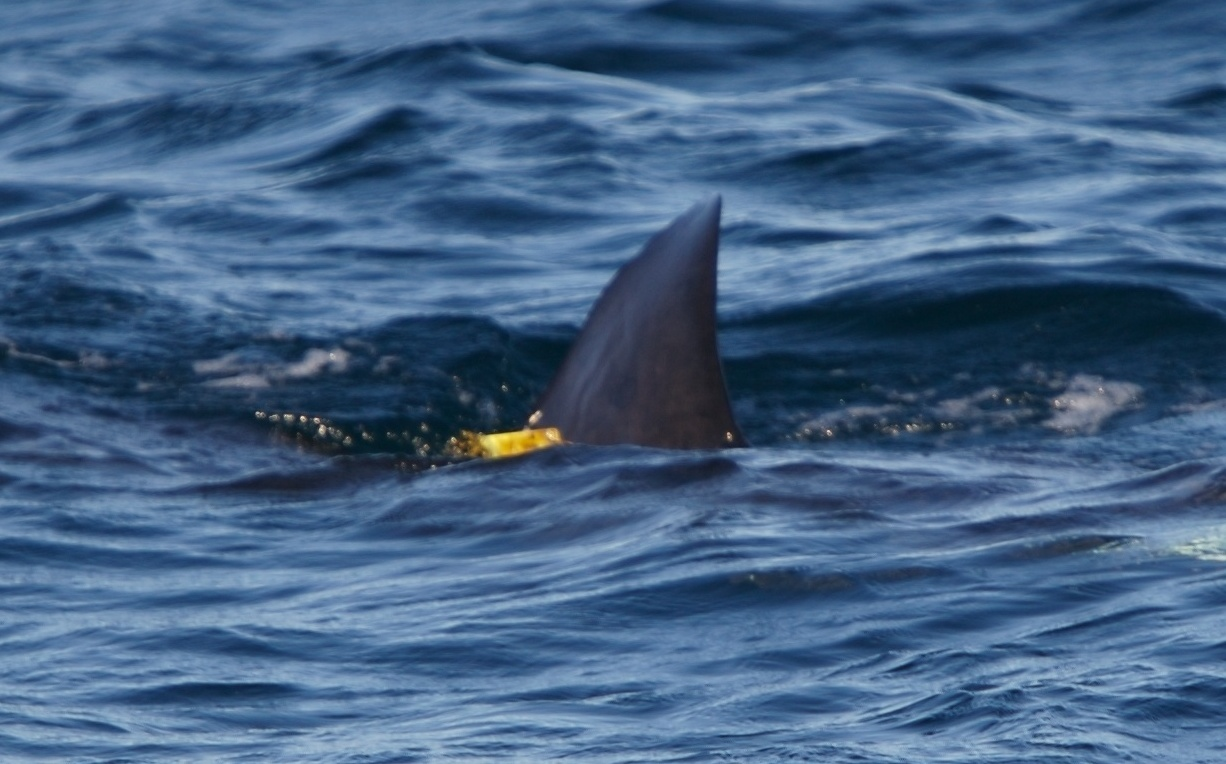 1-Tagged shark crop