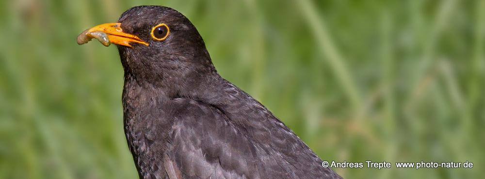 CommonBlackbird - Credit: Andreas Trepte www.photo-natur.de
