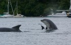 Bottlenose dolphins at play (this image taken in Tobermory harbour in 2009)
